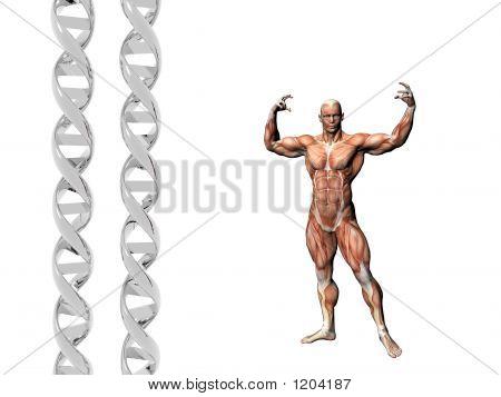 Dna Strand, Muscular Man.