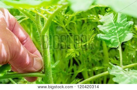 Care For Tomato Plant