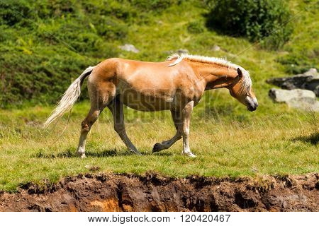 Wild Horse In The National Park Of Adamello Brenta