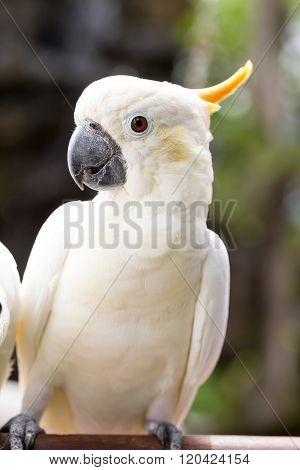 Sulphur-crested Cockatoo, Cacatua Galerita Perched On Branches