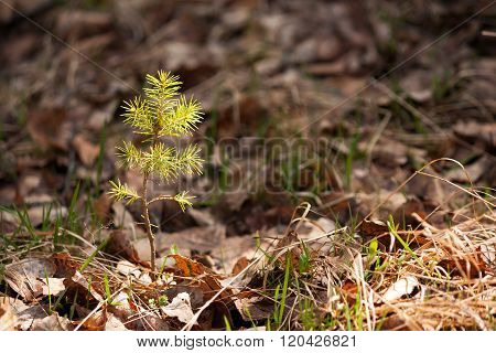 Young Pine Sprout In Spring Forest