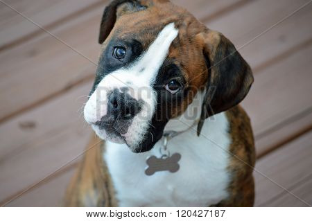 Cute Boxer Puppy looking directly at camera with a curious, begging face and dog tag hanging from his neck.