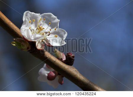 Sakura flowers, close-up