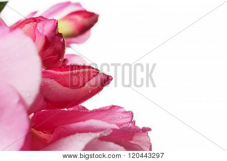 Flowers And Flower Buds Of Pink Oleander