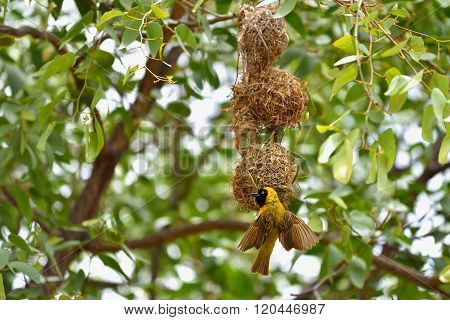 Yellow Masked Weaver Bird, Namibia