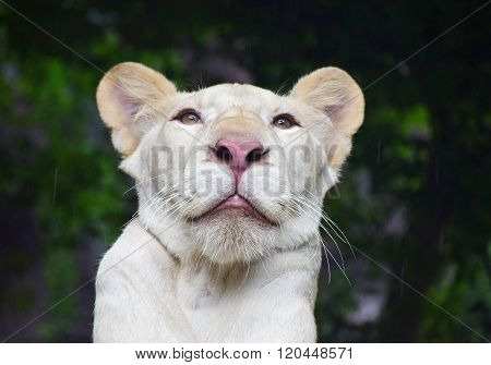 Young White Lioness Portrait In Zoo Under Rain