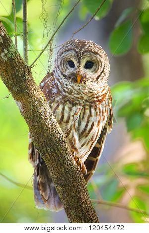 Barred Owl strix Varia Sitting