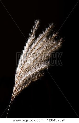 Dry Seeds Of Garden Reed On Black Background
