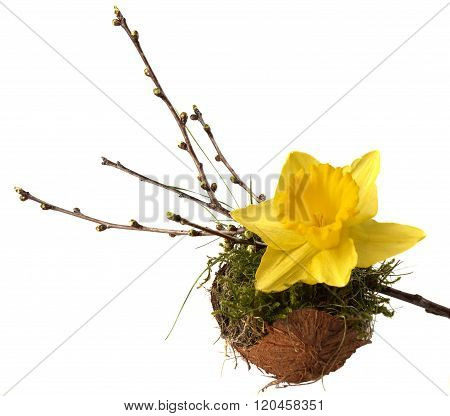 Isolated spring decoration: Narcissus and twig with buds on moss filled coconut shell.