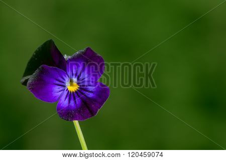 Closeup on Viola, Violaceae in autumn, fall.