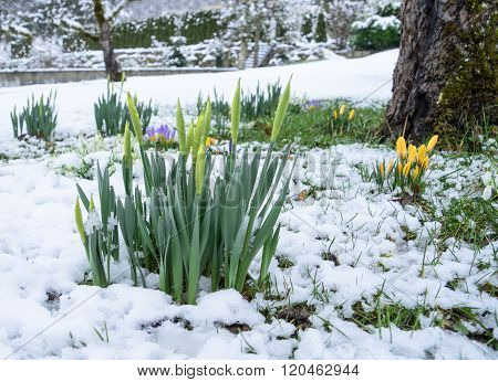 Buds of daffodils in the snow