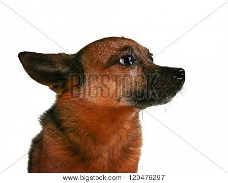 a small senior dog pouting or begging isolated on a white background