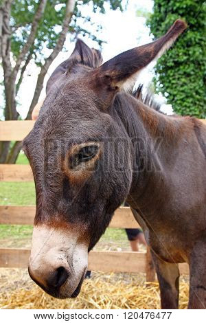 Head of a brown donkey, domesticated animal