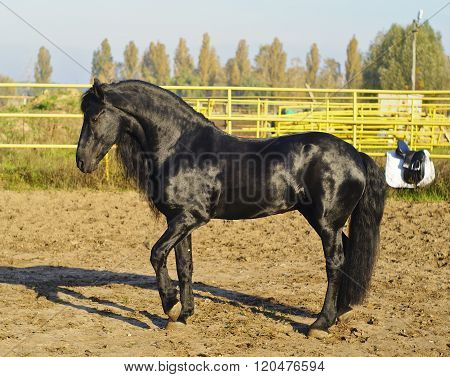 shiny black horse with a beautiful long tail standing in the paddock