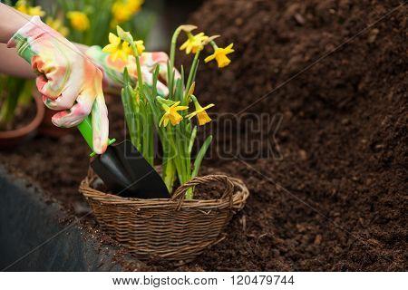 Skillful female gardener is working in greenhouse