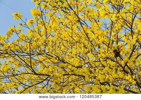 Golden Trumpet Tree