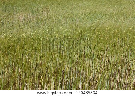 barley field in Alentejo, the south of Portugal