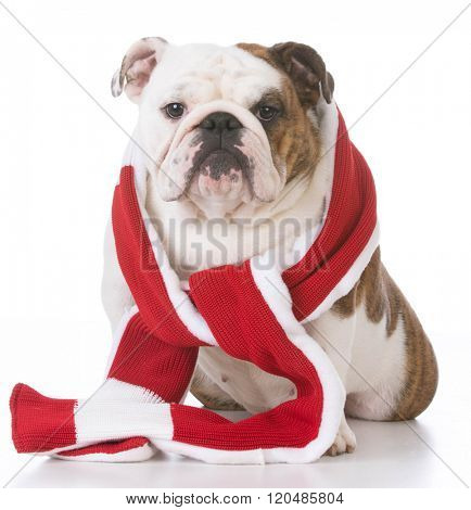 english bulldog wearing winter scarf on white background