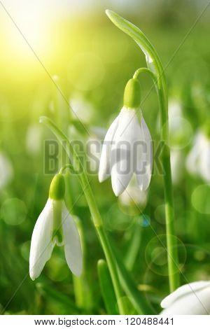 Snowdrop flowers close up. Spring season.