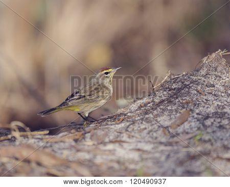 Palm Warbler in Florida Wetlands