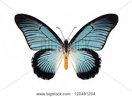 Papilio Iterus Zalmoxis. Beautiful butterfly with cyan wings isolated on white.