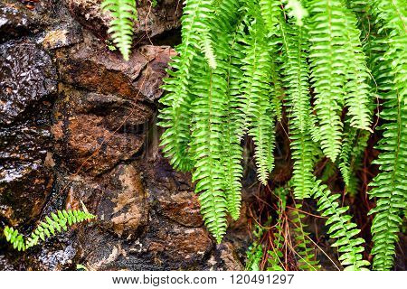 Maidenhair leaves green.