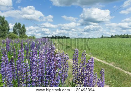 White cirrus clouds on blue daylight sky above farm field and lupine flowers