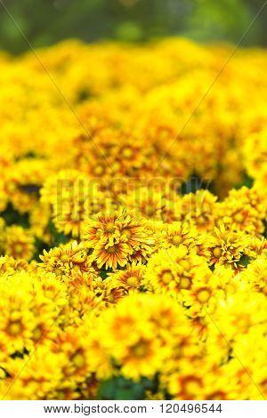 Gerbera flowers (yellow gerbera) , Concept of flower and gardening. ** Note: Shallow depth of field