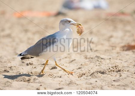 Gull Running On The Beach With A Piece Of Bun In Its Beak