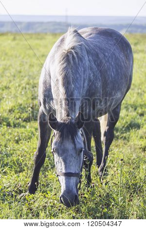 Gray White Dappled Horse