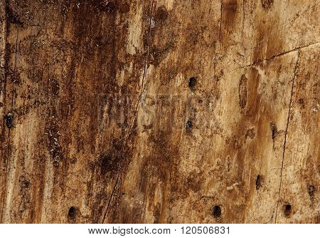fragment of the tree is infected beetle bark beetle (Ips tipografus)