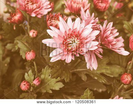 Retro Looking Chrysanthemum Picture
