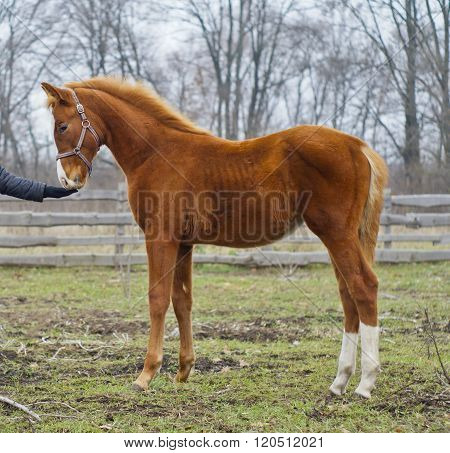 slim red horse with white hind legs standing on grass