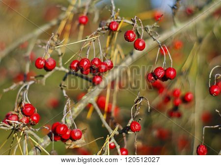 small red viburnum berries hang from branches in autumn