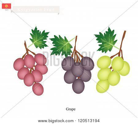 Ripe Grape, A Popular Fruit In Kazakhstan