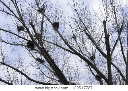 Carrion crows of a nest on branches of young birches. Spring landscape