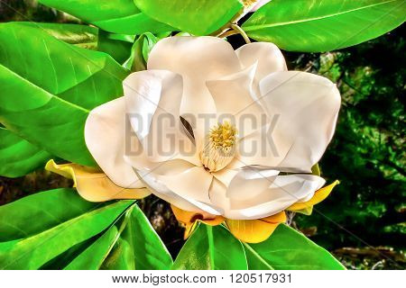 White Magnolia Flower Close Up With Green Leaves Around
