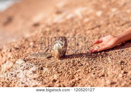 Feeding moorish squirrel