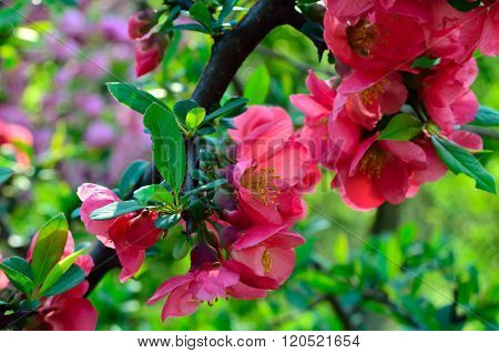 Pink Flowers Of Japanese Quince Blossom In The Garden