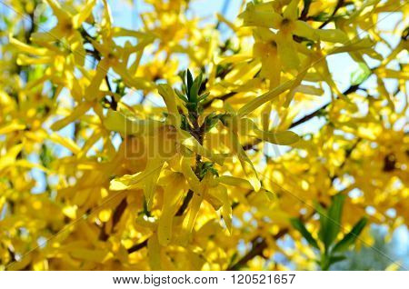 Yellow Flowers Of Forsythia Flowers In The Garden