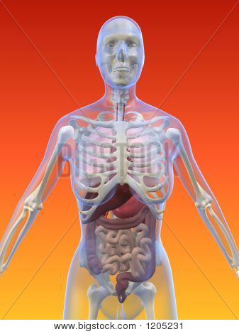 weibliche Anatomie