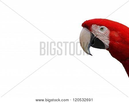 Macaw parrot red.