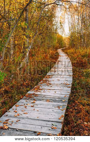 Wooden boarding path way pathway in autumn forest near bog marsh