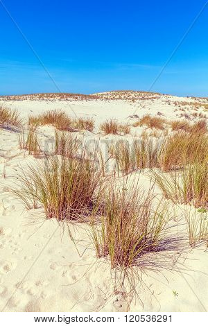 Plants Of Dune Of Pyla, Arcachon Bay