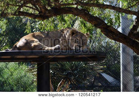 Lioness Resting At San Diego Zoo