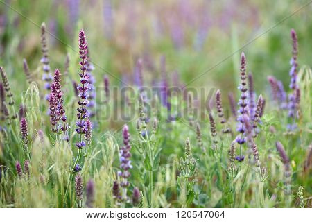 Woodland sage meadow