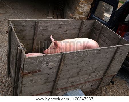 Pigs on the wagon