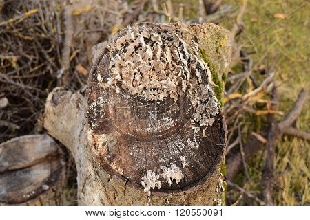Plate Mushrooms On A Tree Stump