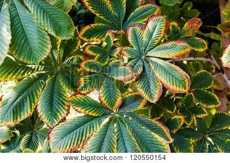 withering buckeye leaves