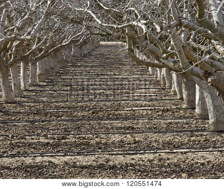 Path Between Rows Of Dormant Fruit Trees With Watering Lines Across The Path.